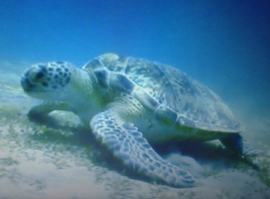Laguna Beach Resort: Turtle seen while diving (dive site 30 min from hotel)