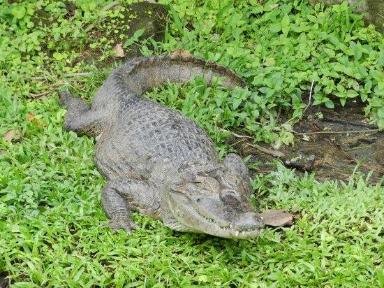 Los Lagos Hotel Spa & Resort: nuesteo amigo el cocodrilo