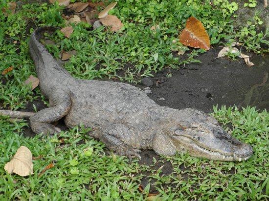 Los Lagos Hotel Spa & Resort: Crocodiles