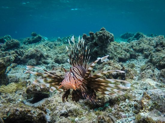 Dahab Paradise: LIONFISH!! At the reef in front of the hotel