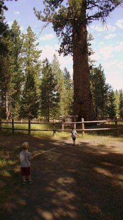 La Pine State Park: Big Tree site