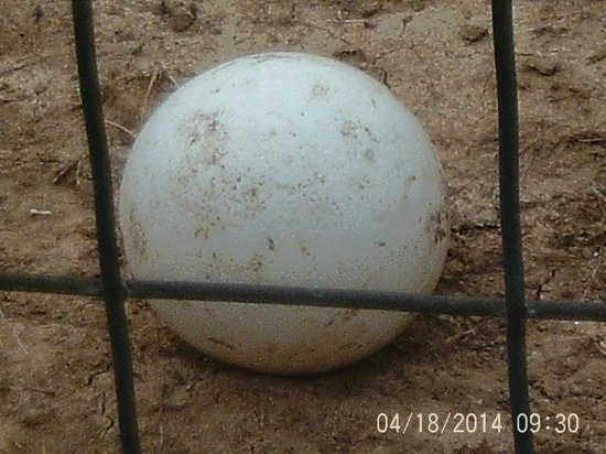 Brights Zoo: ostrich egg