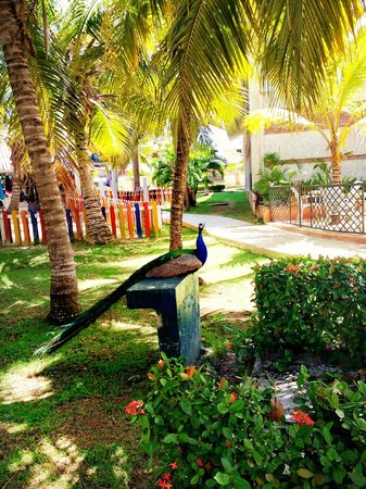 IFA Villas Bavaro Resort & Spa: Just outside our room area (room 3318) beautiful peacocks!