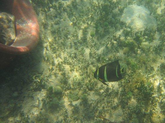Virgin Islands Ecotours: Angelfish