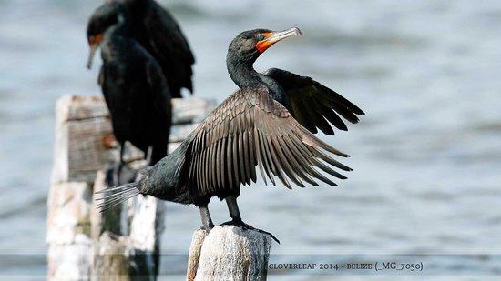 Colinda Cabanas: cormorants