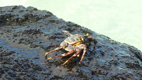 Bora Bora Pearl Beach Resort & Spa: Crabs were all on the lava rocks!