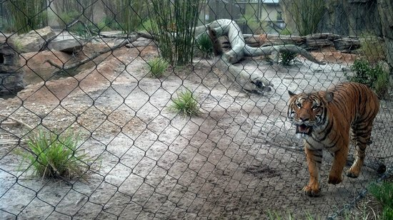 Walk Over At Tiger Exhibit Picture Of Jacksonville Zoo