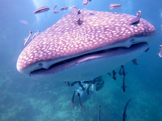 Namloo Divers - Day Diving: Whale Shark at Shark Point