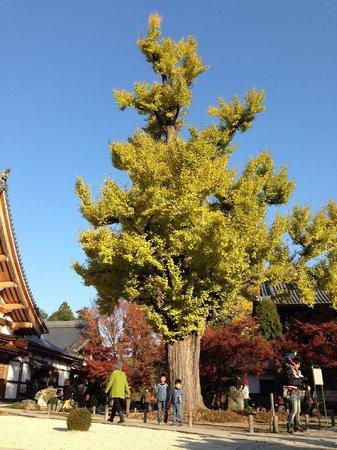Kokeizan Eihoji Temple: 大銀杏。