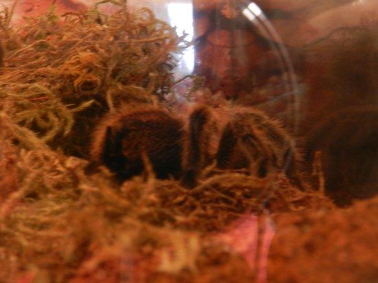 Lawrence Hall of Science : real tarantula