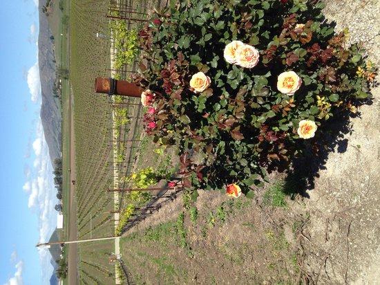 Wolff Vineyards: Roses and vineyard