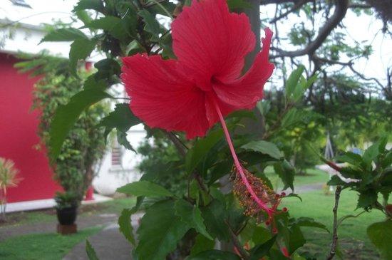 Residence Le Vallon - Primeahotels Guadeloupe: Les fleurs qu'on peut rencontrer dans la résidence