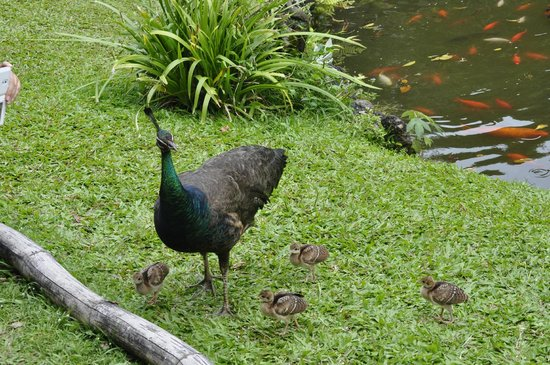 Byodo-In Temple: Mother peacock and her chicks