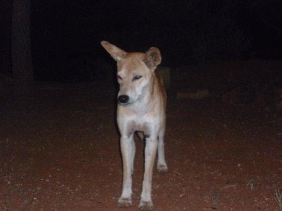 dingo near camp
