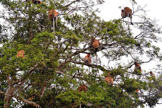 Myne Resort : Proboscis Monkey tree over the Kinabatangan