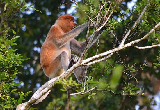 Myne Resort : Proboscis Monkey high in the trees over the river