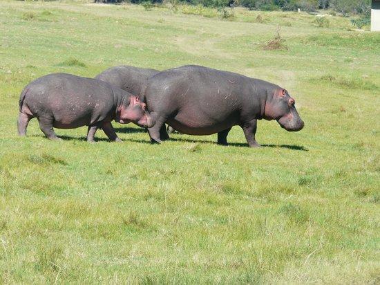 Lalibela Game Reserve: Hippos at Lalibela