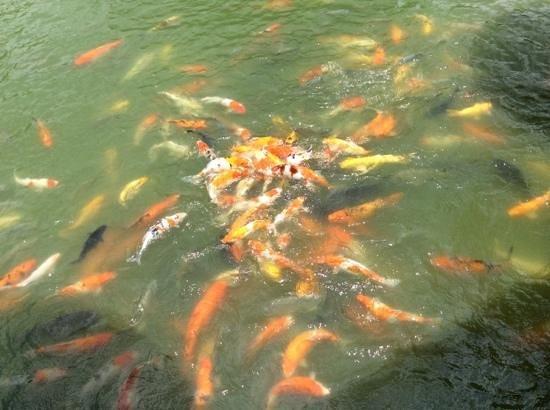 Phuket Botanic Garden: Koi feeding frenzy for 20 baht.