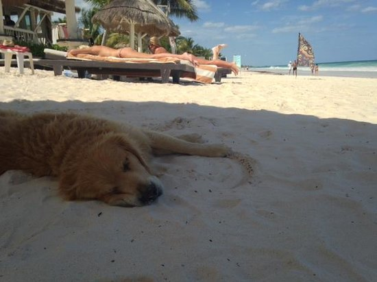 """Villa Las Estrellas: The hotel dog """"Tequila"""" chillin on the beach"""