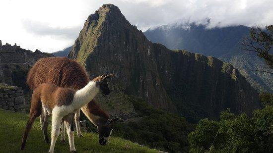 Machu Picchu: мачу пикчу и ламы