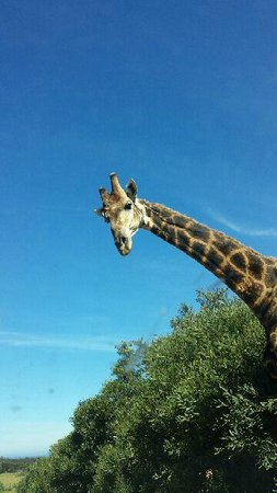 Kragga Kamma Game Park: Kragga Kamma - Giraffe