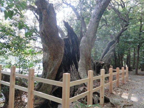 Matsushita Shrine: 大楠