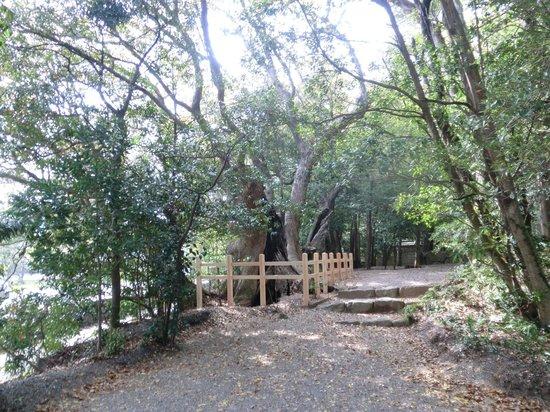 Matsushita Shrine: 大楠(遠景)