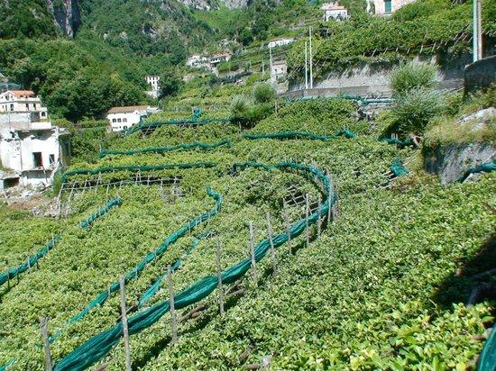 Valle dei Mulini : citronniers