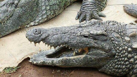 Cango Wildlife Ranch: Sleeping Crocs