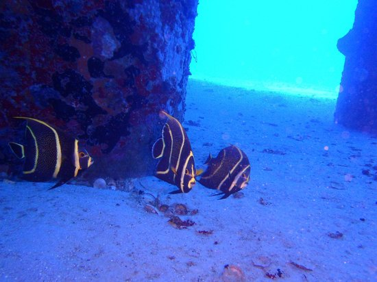 N2theBlue Scuba Diving: Three angel fish at the pier in St. Croix