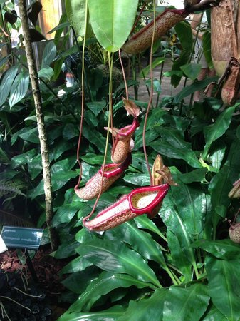Marie Selby Botanical Gardens: pitcher plants in the green house