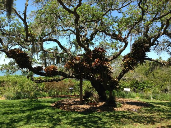 Marie Selby Botanical Gardens: bromeliads on a tree