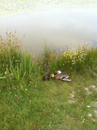 Warcombe Farm Camping Park: Ducklings on site