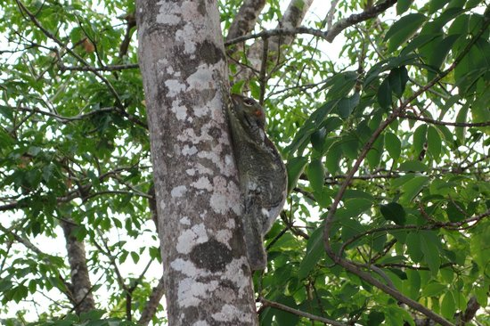 Century Langkawi Beach Resort: Flying squirrels everywhere (well, this one is sleeping)
