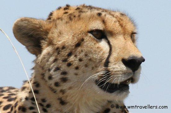 Keekorok Lodge-Sun Africa Hotels : Mara Cheetah