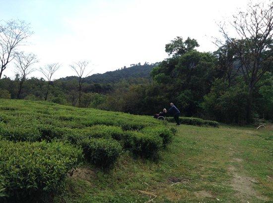 Darang Tea Estate: The tea gardens outside the cottage