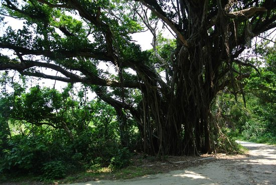 Kudakajima Island: Tree