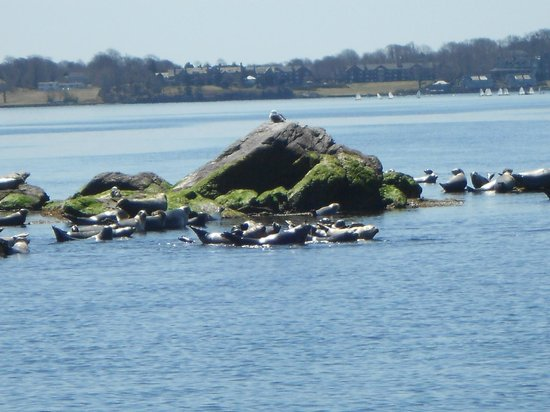 Save The Bay Seal Watch & Nature Cruises: Seals basking in the sun during seal watch tour