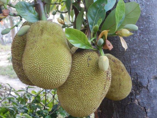 Jackfruit Homestay: 庭院里的菠萝蜜