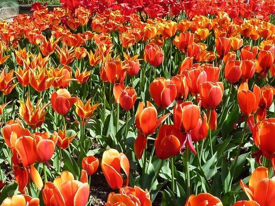 La Colline aux Oiseaux: tulipes orangées