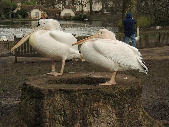 Parque de St. James: Queen's Eastern/Great White Pelican - they are really characters