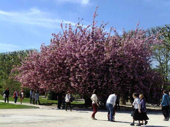 Jardin des Plantes : сакура