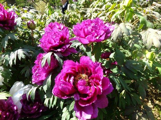 Jardin des Plantes : оцените размер пионов