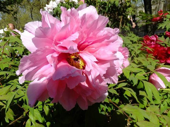 Jardin des Plantes : пион