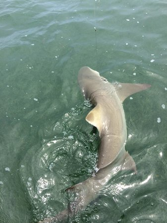 Pepe's Charters: Lemon shark, around 7 ft. A new shark species for me. Great way to finish the trip.