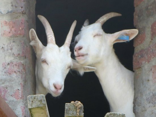 Fairview Wine and Cheese: The goats!