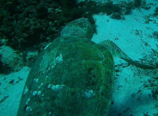 Challenge Diving: The Loggerhead Turtle,So big