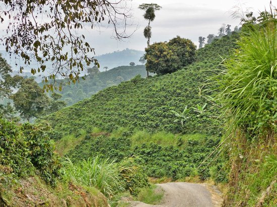 Hacienda Venecia Coffee Farm: One of many country roads through the mountains of coffee plants. Great for walking.