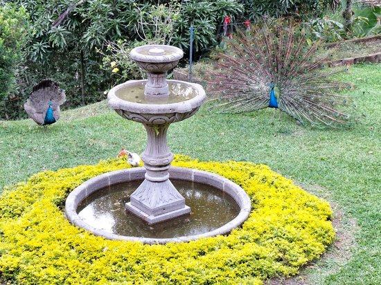Hacienda Venecia Coffee Farm: Peacocks showing off in the courtyard