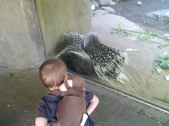 Oregon Zoo: Porcupine